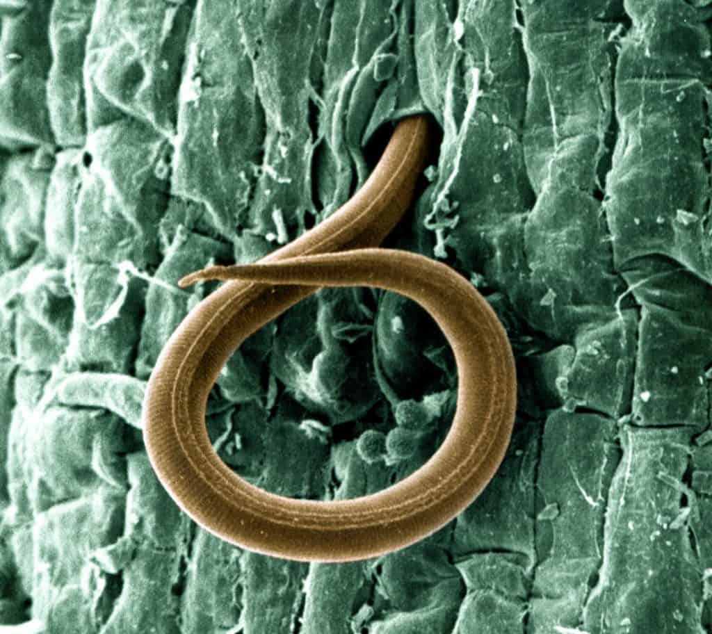 Photo of A young nematode penetrating a tomato root