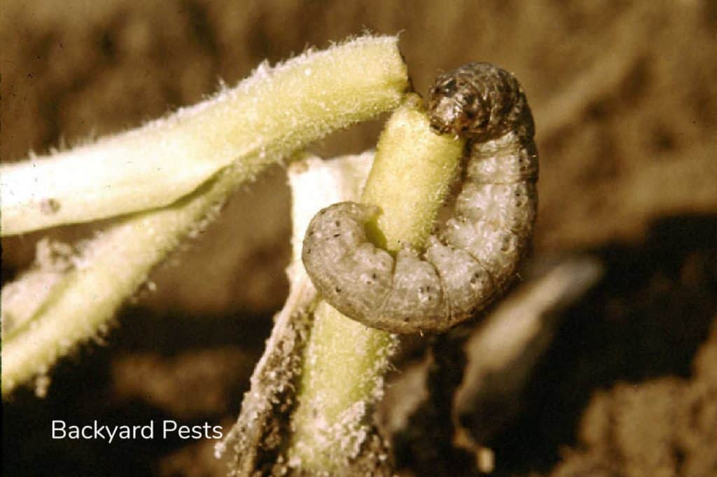 Damage caused by cutworms