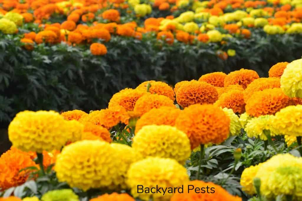 Photo of marigolds in a field