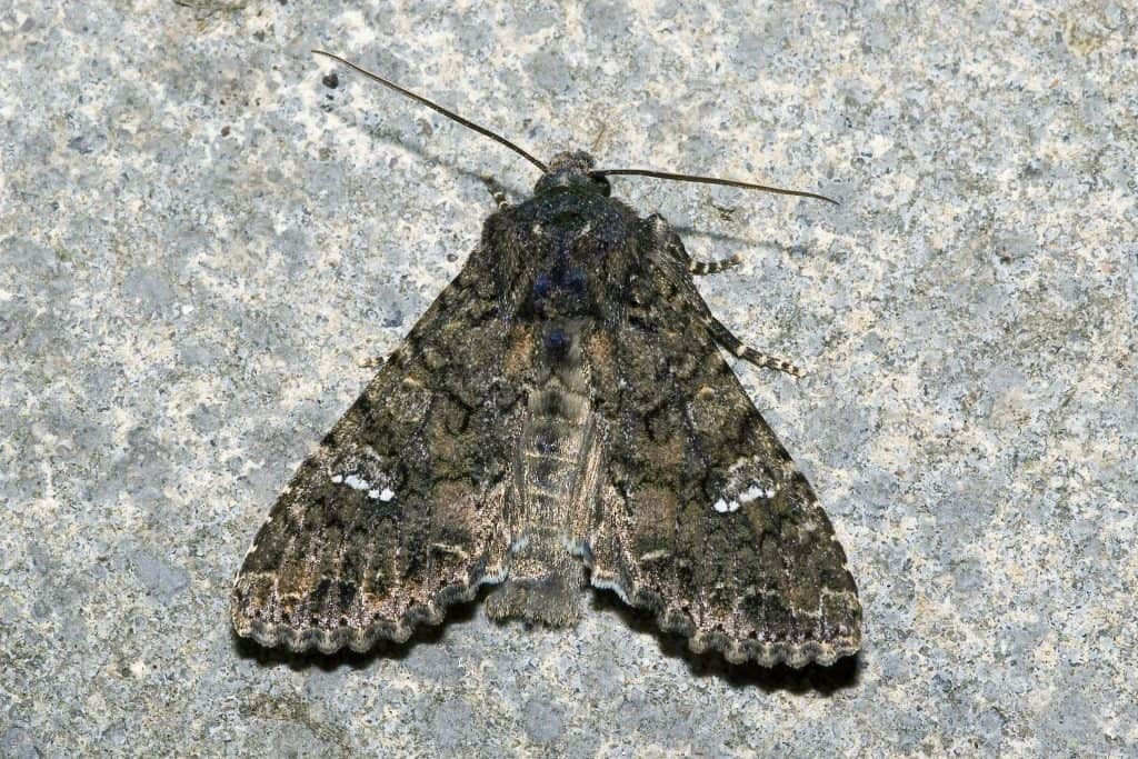 Photo of cabbage moth