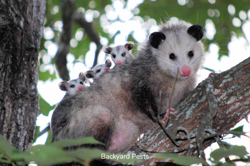 A female opossum carrying her young on her back