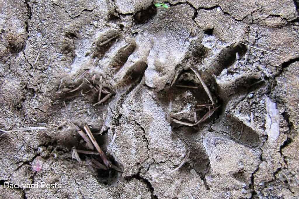 Opossum print in the mud