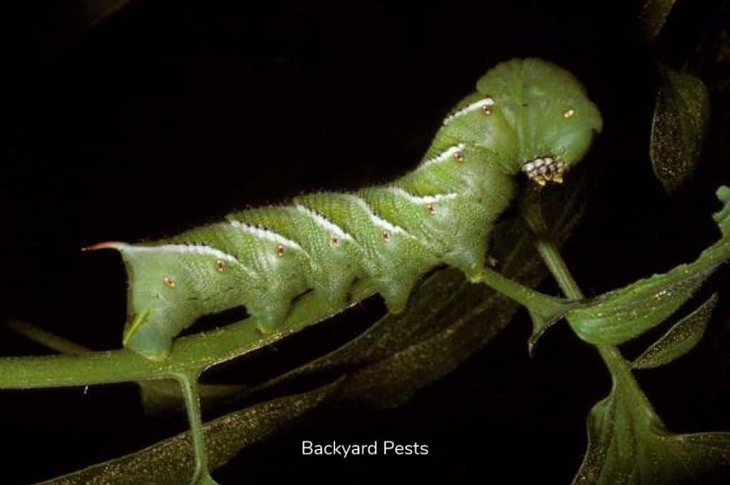 Photo of Tomato Hornworm
