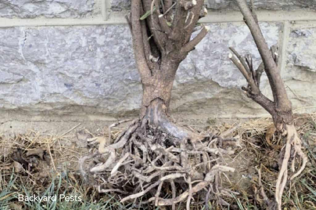 Photo of a tree with root damage from voles