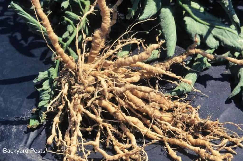 Root galls on tomato plant
